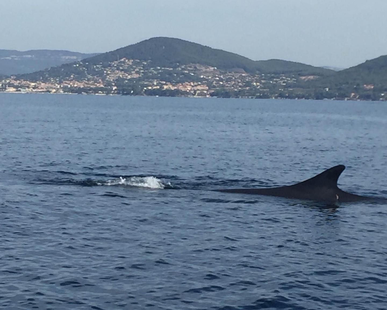 requins baleines tortues les animaux marins toujours plus proches de nos c tes var matin. Black Bedroom Furniture Sets. Home Design Ideas